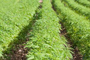 Benefits of Growing Hemp