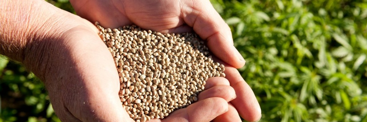 The Hemp Seed Market Is Limited