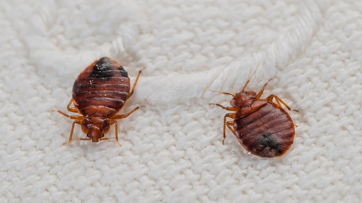 Introducing A Bed Bug