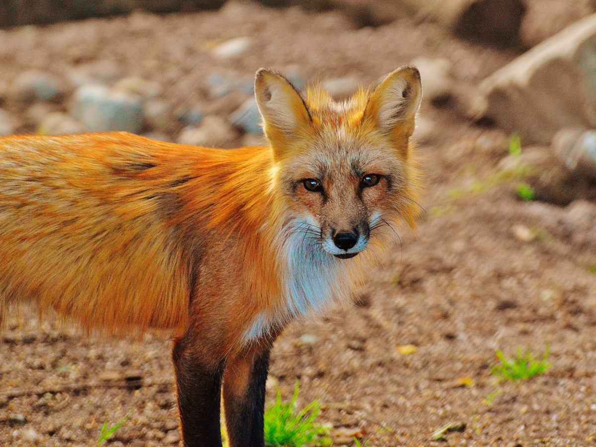 Use An Ultrasonic Repellent For Foxes