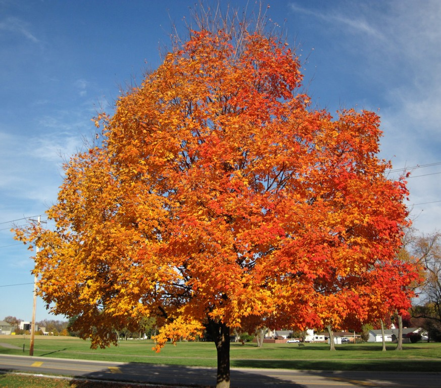 Sugar Maples Trees