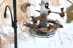 How to Attract Finches to Your Bird Feeders