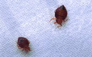 Ways in Which You Can Eliminate Bed Bugs in Your Home