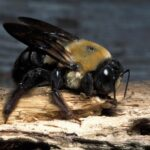 How to Identify Carpenter Bees Infestation?
