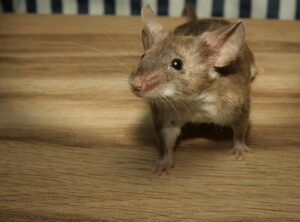 How to Get Rid of Mice in the Attic