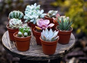 How to Properly Care for Succulents
