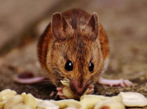 Reasons Why Having a Mouse Problem Is Bad For Your Home