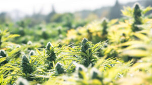 Quick Guide To Growing Marijuana Outdoors